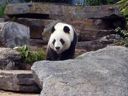 Get to see the famous giant panda in Adelaide Zoo!